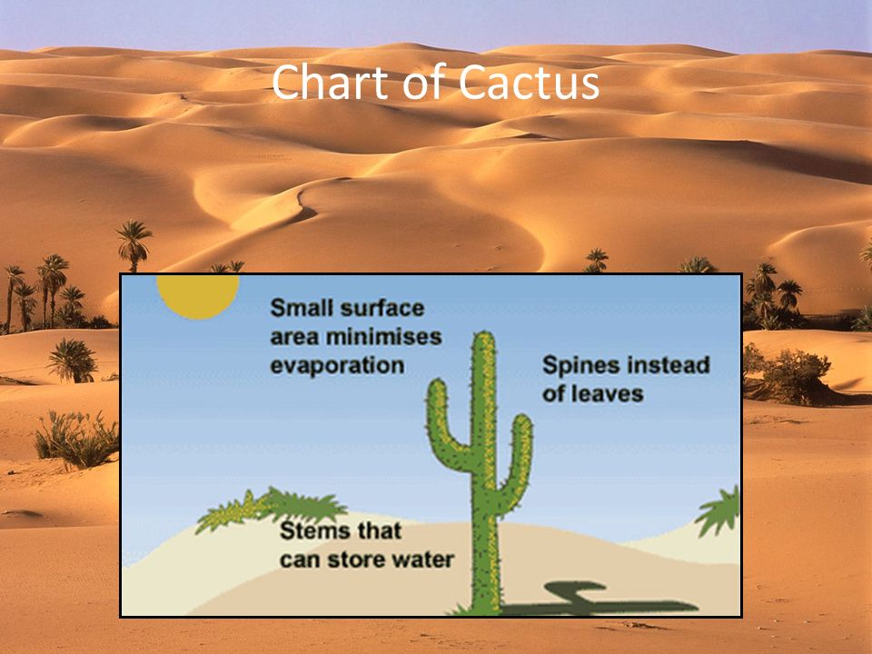Chart of Cactus