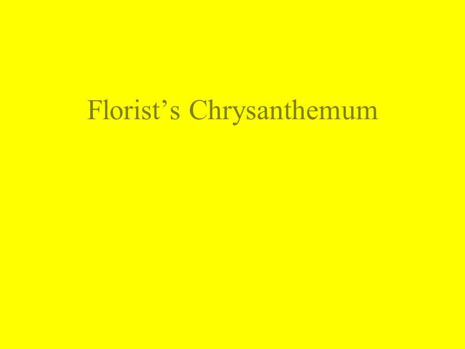 Florist's Chrysanthemum