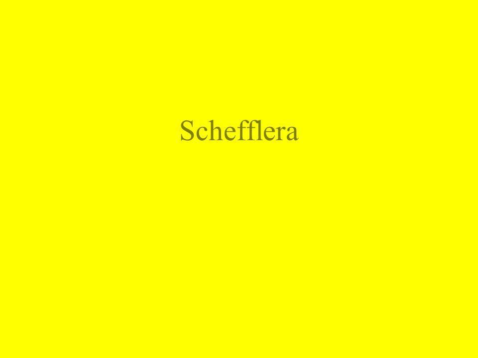 Schefflera