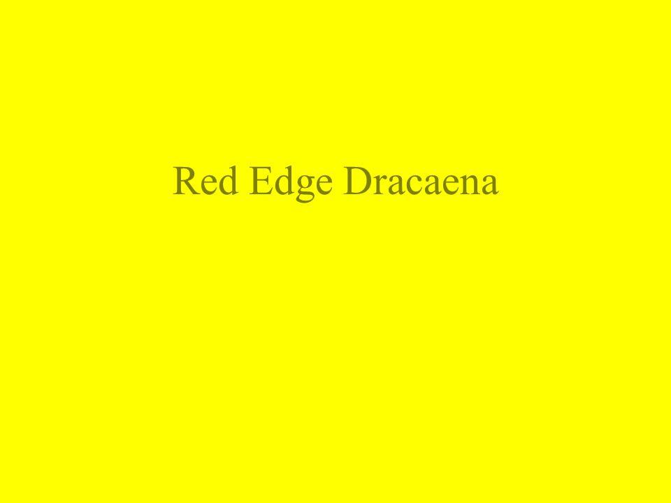 Red Edge Dracaena