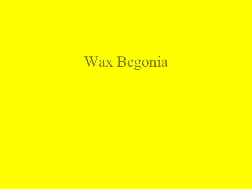 Wax Begonia