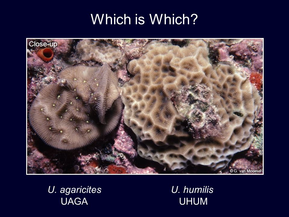 Which is Which U. agaricites U. humilis UAGA UHUM Close-up