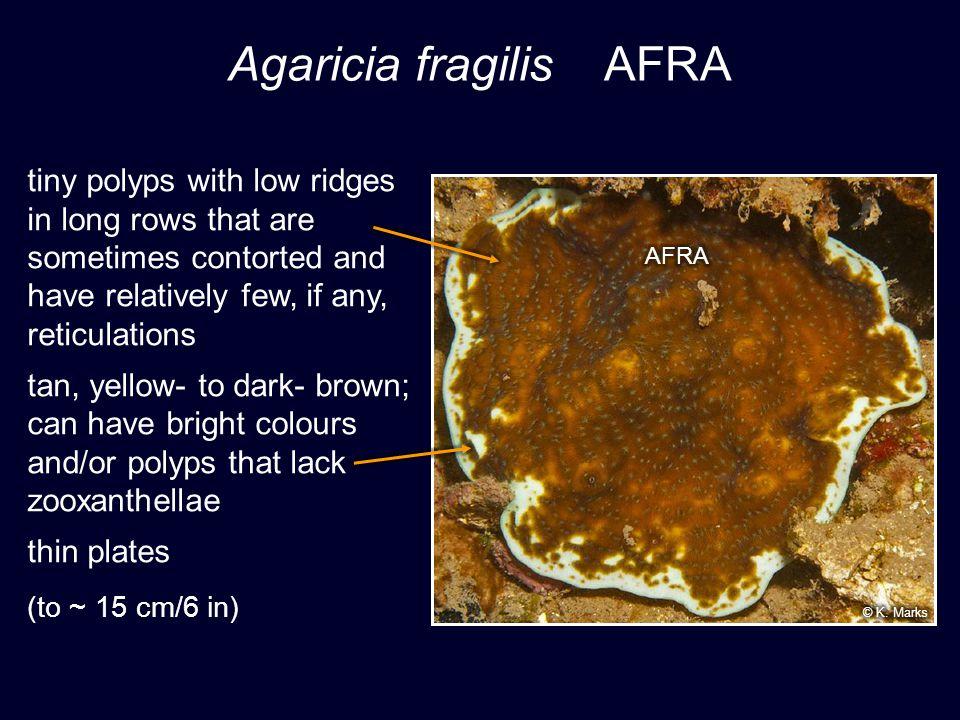 Agaricia fragilis AFRA