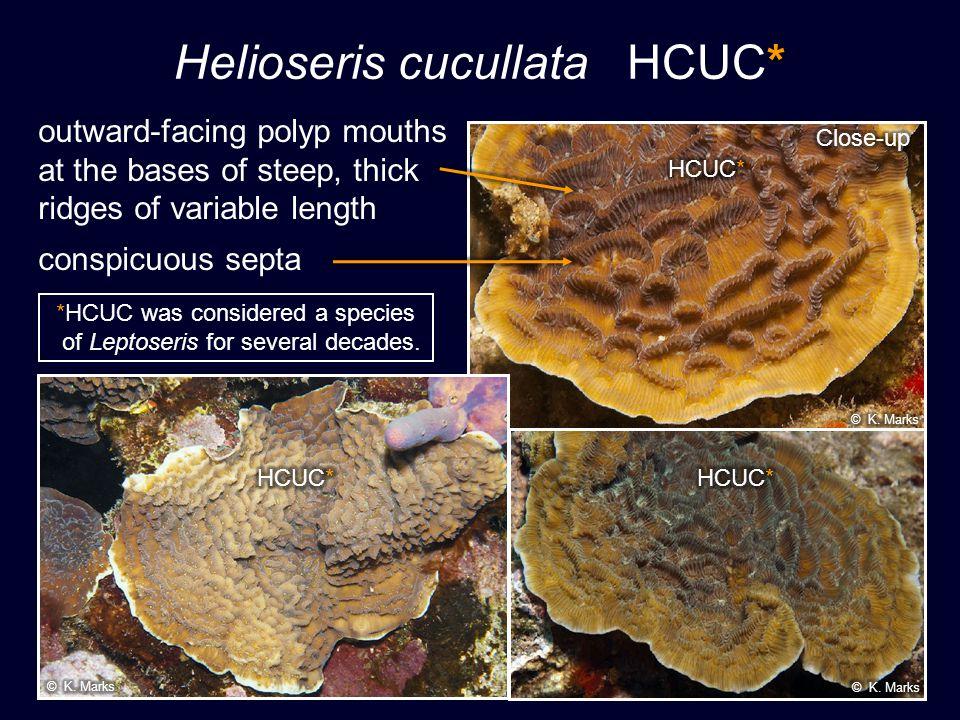 Helioseris cucullata HCUC*