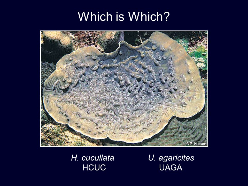 Which is Which © P. Humann H. cucullata U. agaricites HCUC UAGA 29