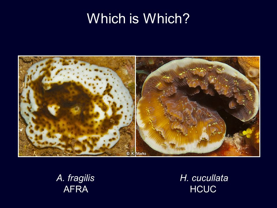 Which is Which © K. Marks A. fragilis H. cucullata AFRA HCUC 30