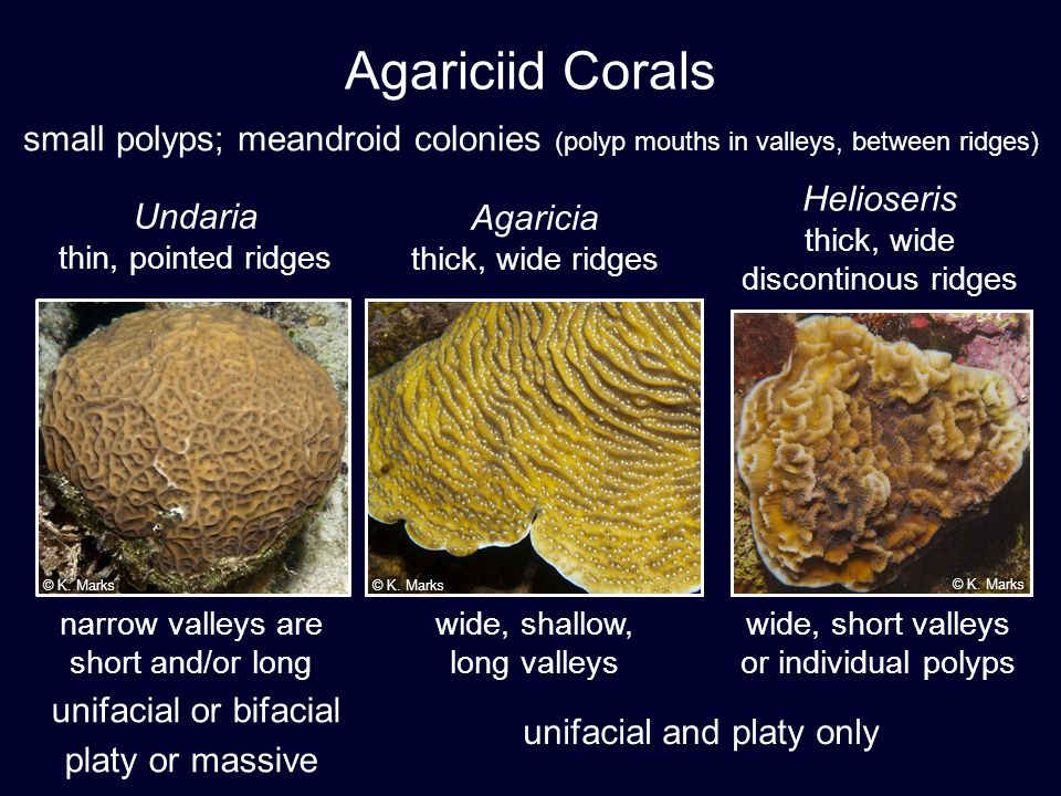 Agariciid Corals small polyps; meandroid colonies (polyp mouths in valleys, between ridges) © K. Marks.
