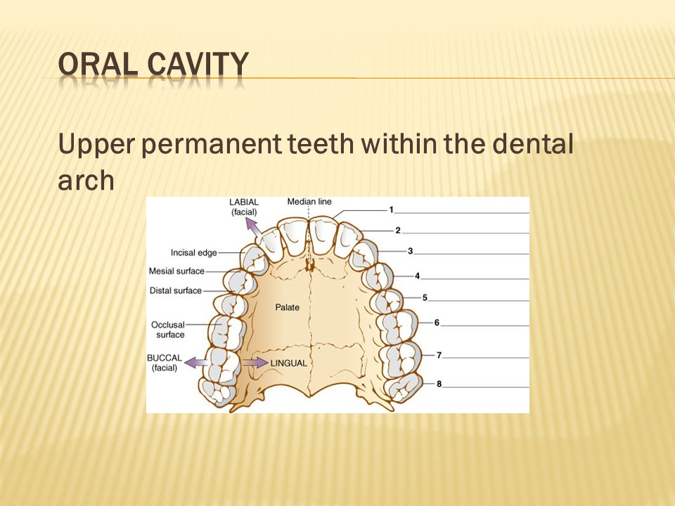 Oral Cavity Upper permanent teeth within the dental arch →