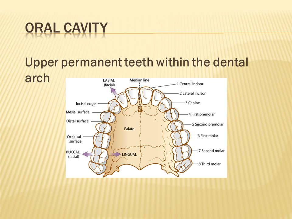 Oral Cavity Upper permanent teeth within the dental arch
