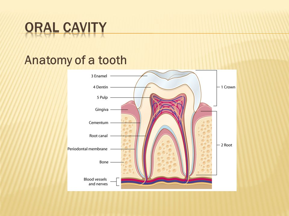 Oral Cavity Anatomy of a tooth