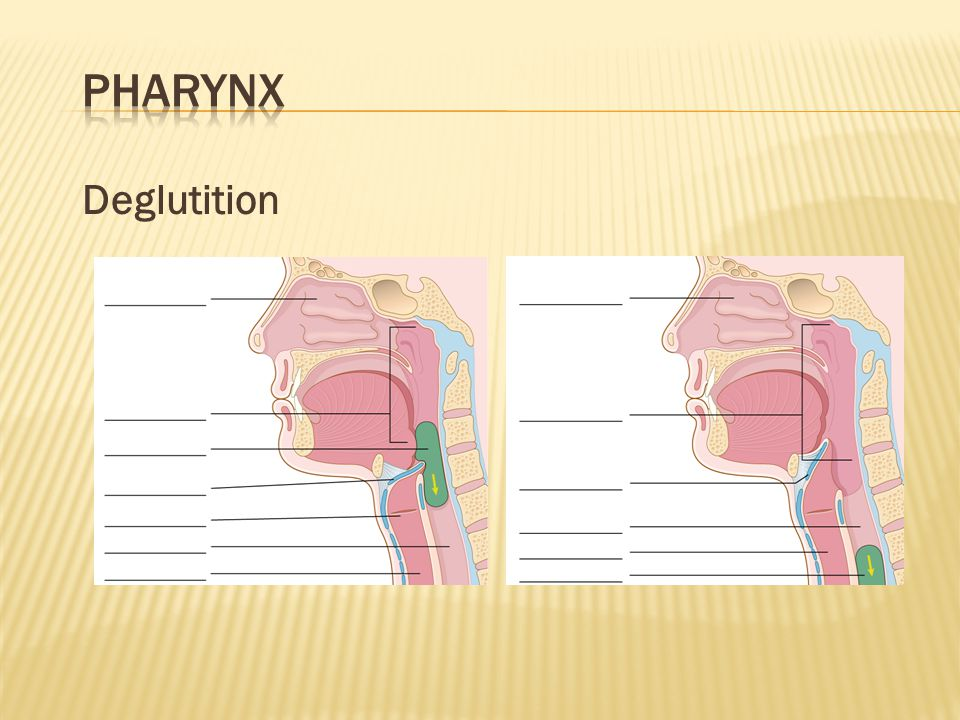 Pharynx Deglutition. The pharynx is the common passageway for both air and food. What potential problems do you see with this arrangement