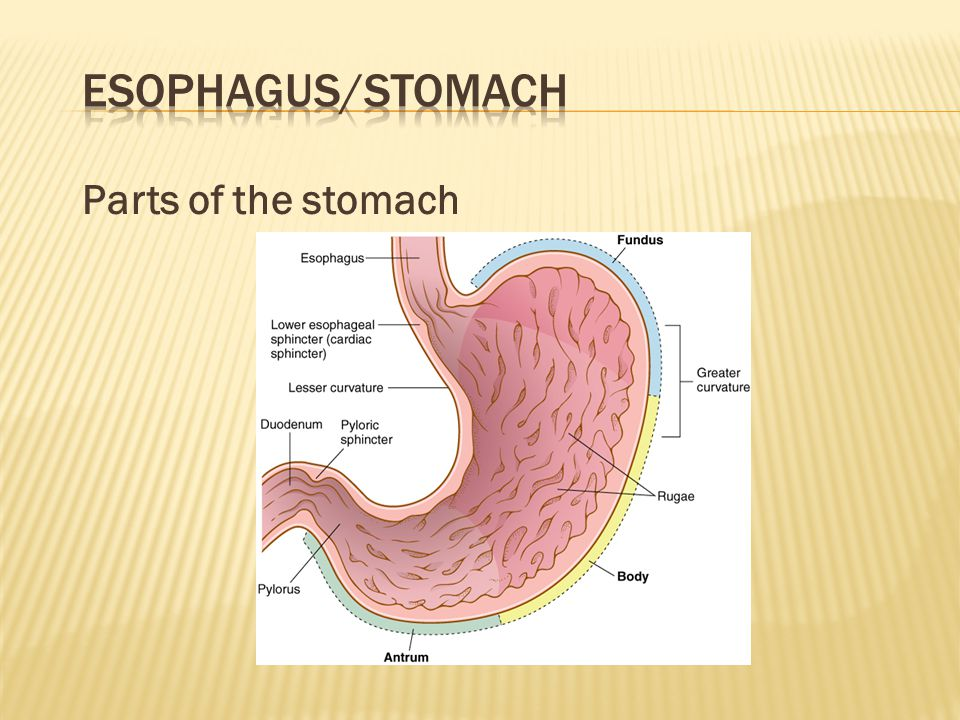 Esophagus/Stomach Parts of the stomach