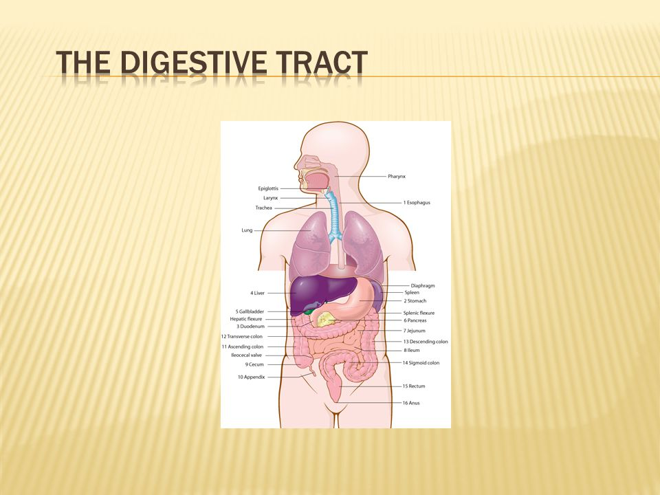 The Digestive Tract Quiz students to check answers using completed labels.