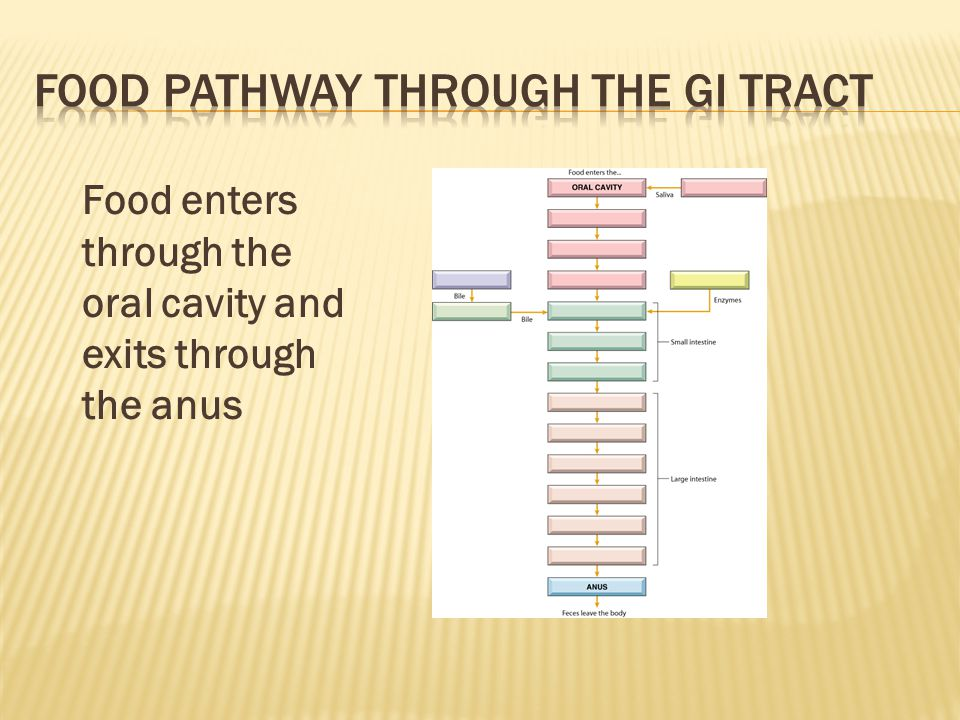 Food Pathway through the GI Tract