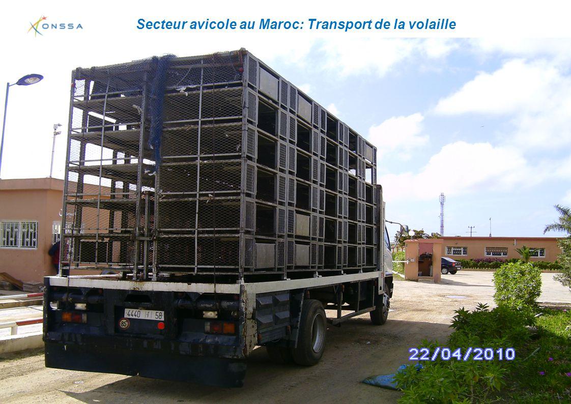 Secteur avicole au Maroc: Transport de la volaille