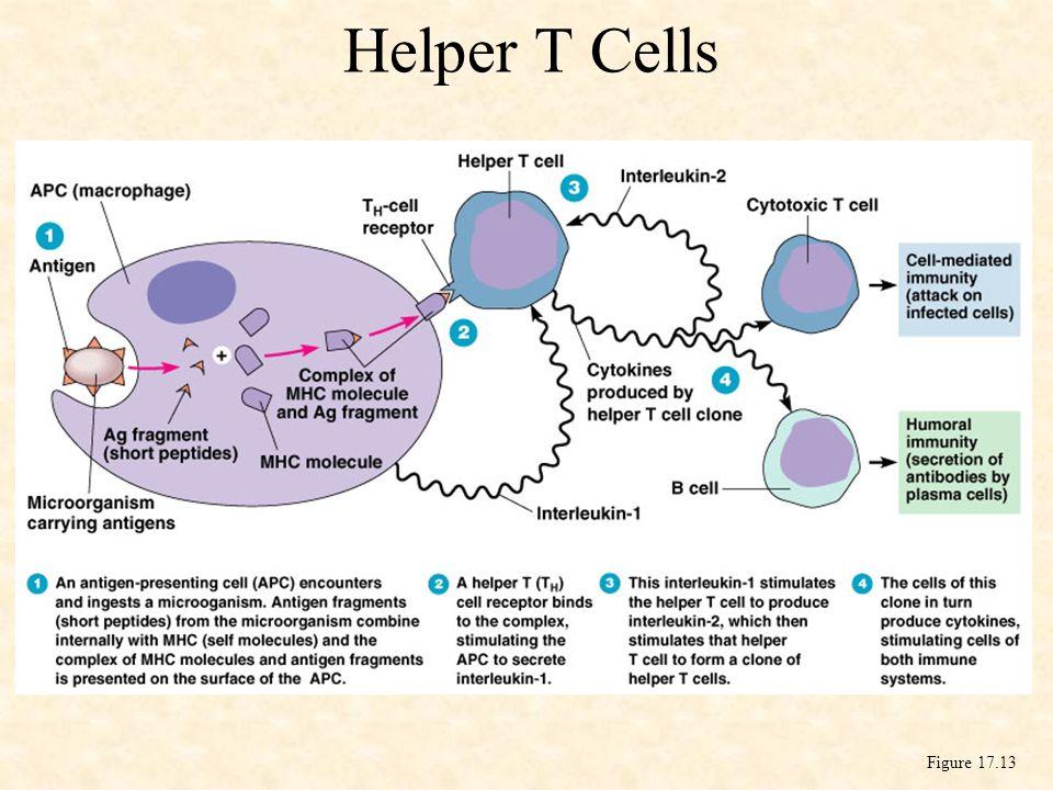 Helper T Cells Figure 17.13