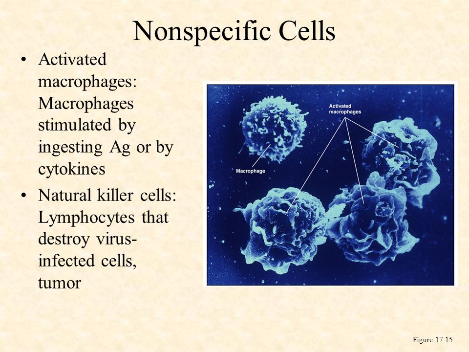 Nonspecific Cells Activated macrophages: Macrophages stimulated by ingesting Ag or by cytokines.