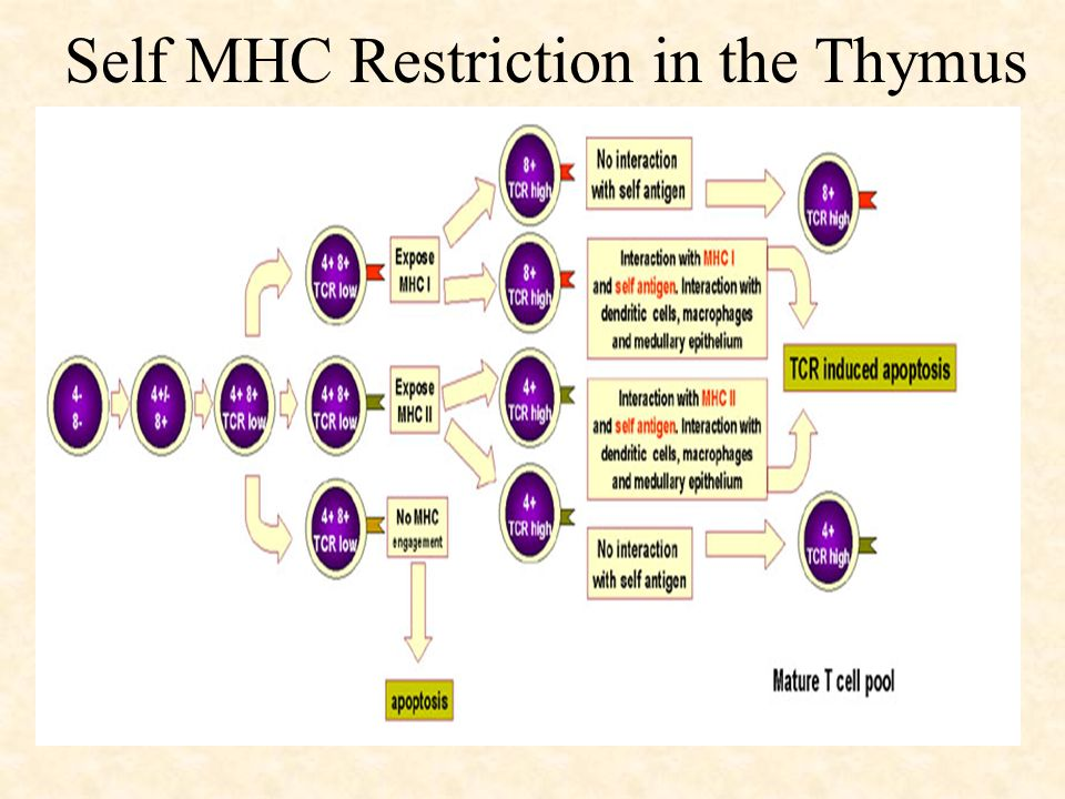 Self MHC Restriction in the Thymus