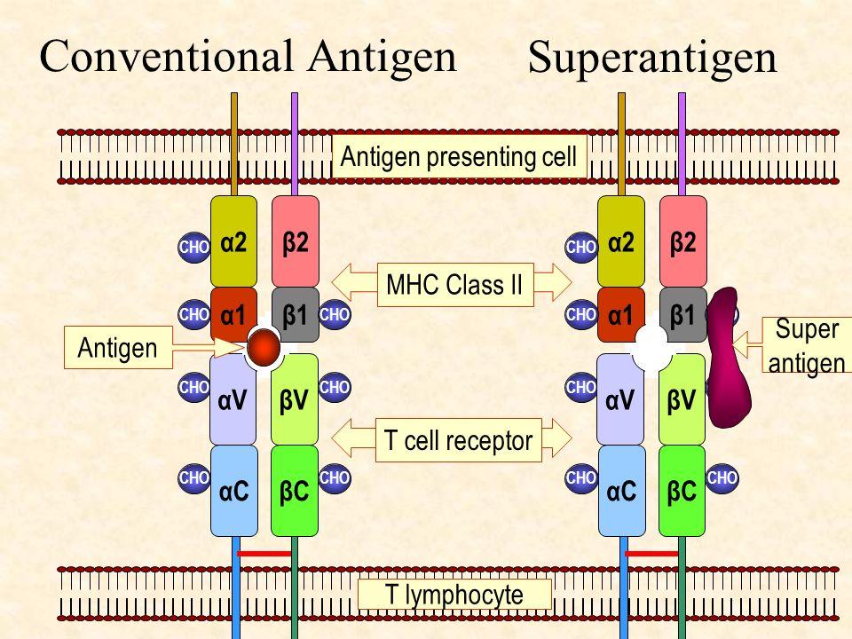 Conventional Antigen Superantigen αC βC βV αV α2 β2 β1 α1 MHC Class II