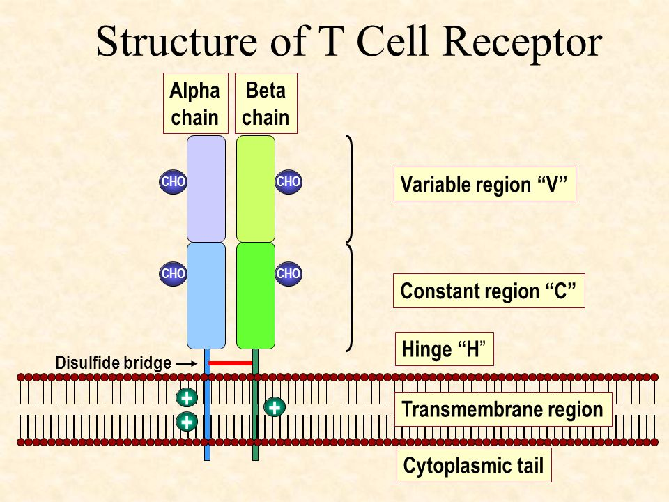 Structure of T Cell Receptor