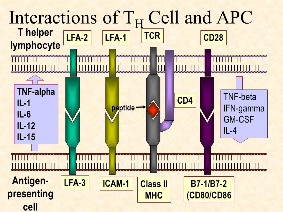 Interactions of TH Cell and APC