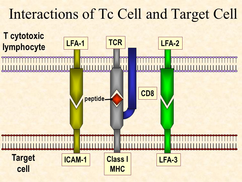 Interactions of Tc Cell and Target Cell