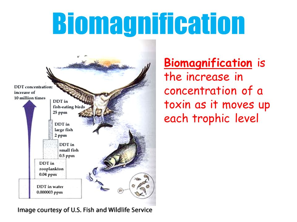 Biomagnification Biomagnification is
