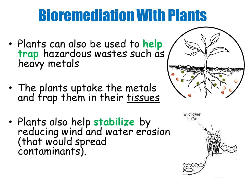 Bioremediation With Plants