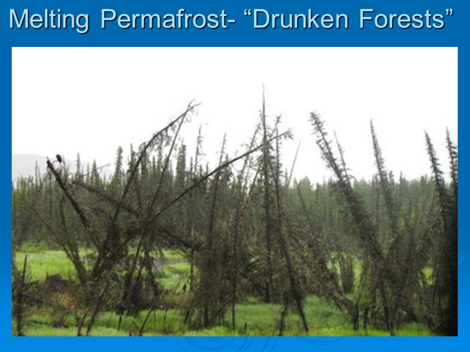 Melting Permafrost- Drunken Forests