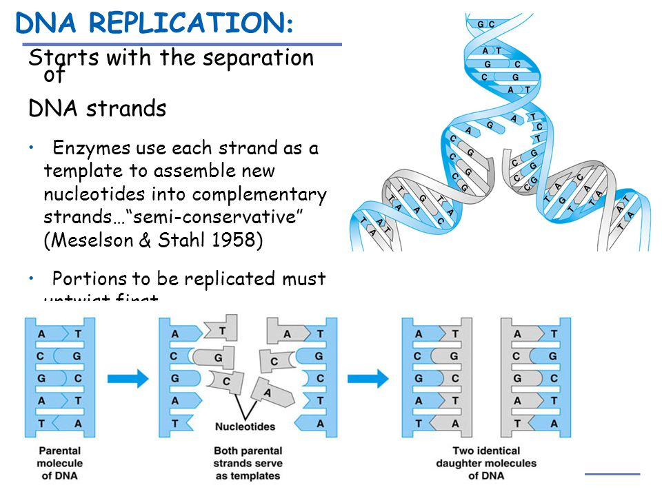 DNA REPLICATION: Starts with the separation of DNA strands