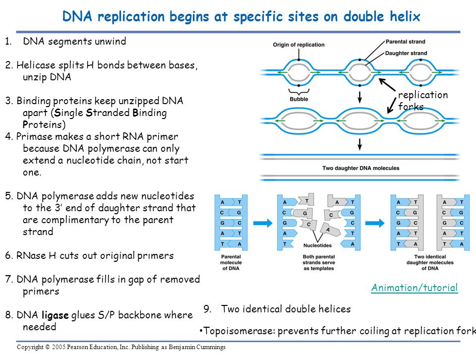 DNA replication begins at specific sites on double helix