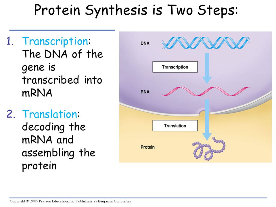 Protein Synthesis is Two Steps: