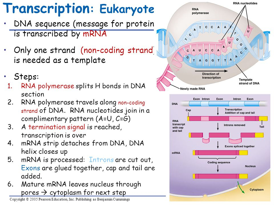Transcription: Eukaryote
