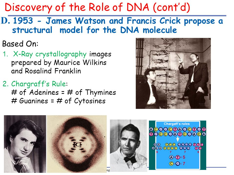 Discovery of the Role of DNA (cont'd)