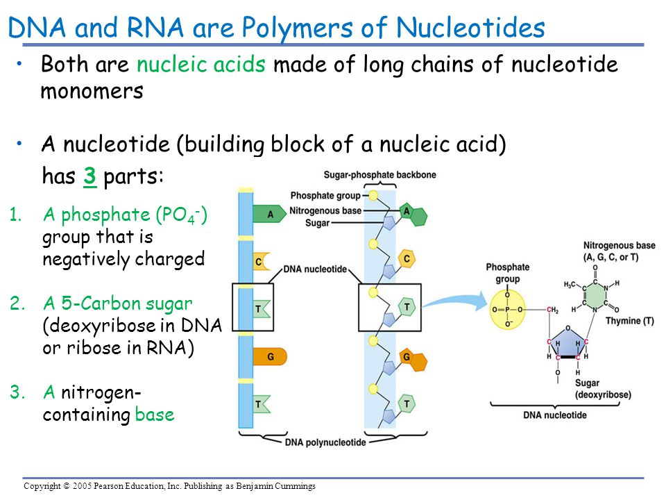 DNA and RNA are Polymers of Nucleotides