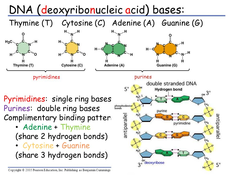 DNA (deoxyribonucleic acid) bases: