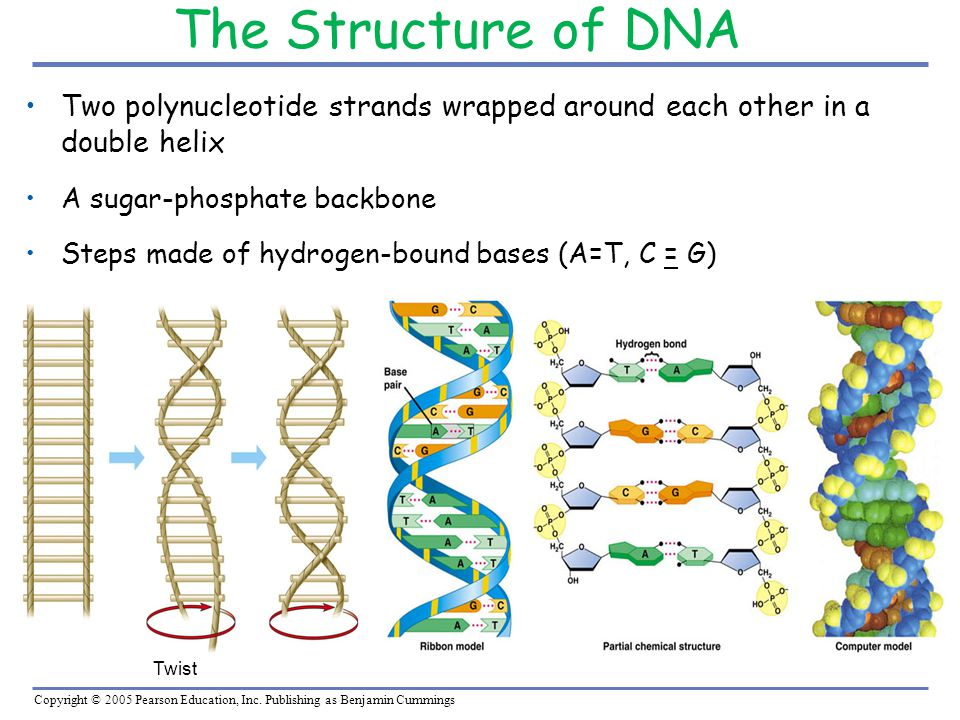 The Structure of DNA Two polynucleotide strands wrapped around each other in a double helix. A sugar-phosphate backbone.