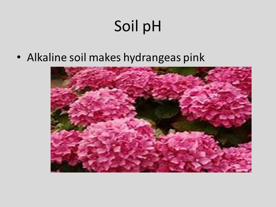 Soil pH Alkaline soil makes hydrangeas pink
