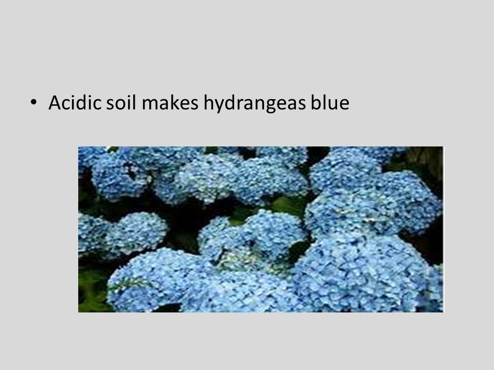Acidic soil makes hydrangeas blue