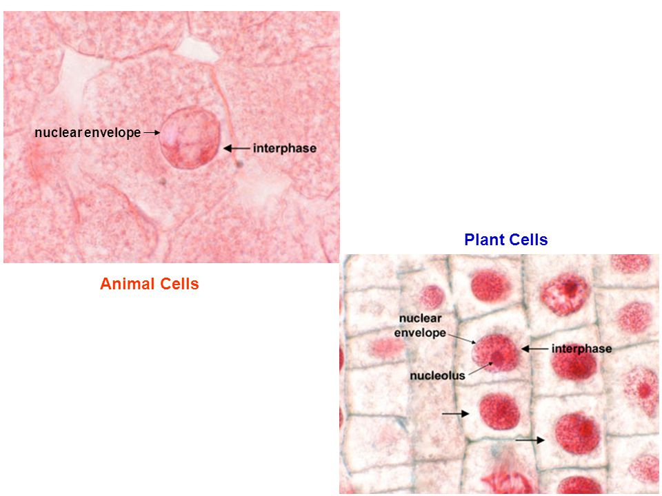 nuclear envelope Plant Cells Animal Cells