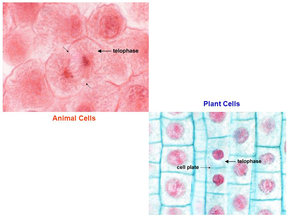 Plant Cells Animal Cells