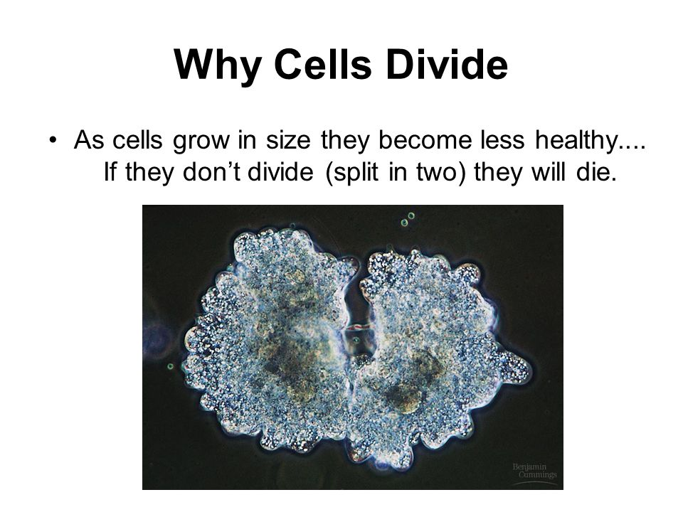 Why Cells Divide As cells grow in size they become less healthy....