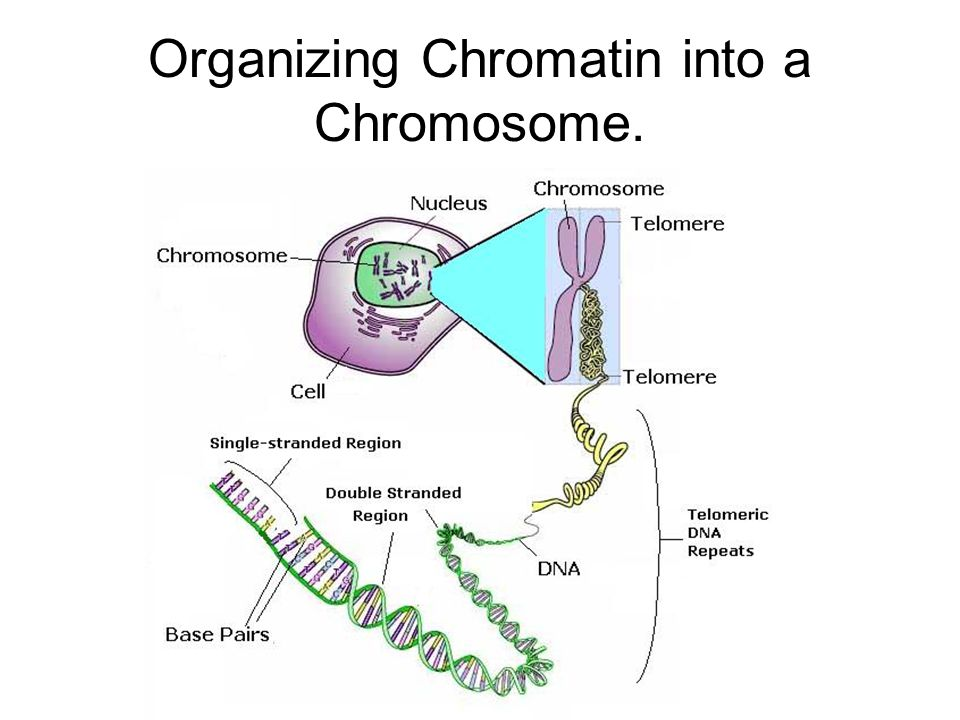 Organizing Chromatin into a Chromosome.