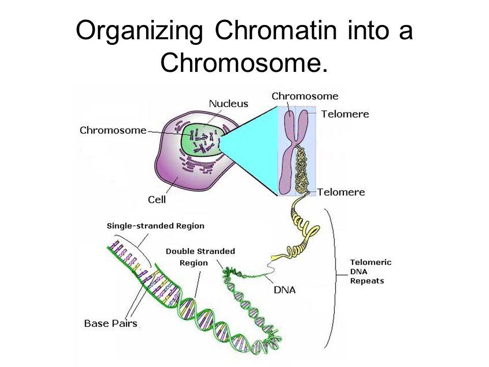 Organizing Chromatin into a Chromosome.