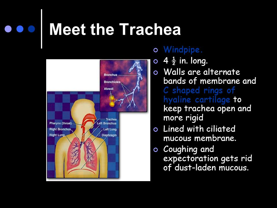 Meet the Trachea Windpipe. 4 ½ in. long.