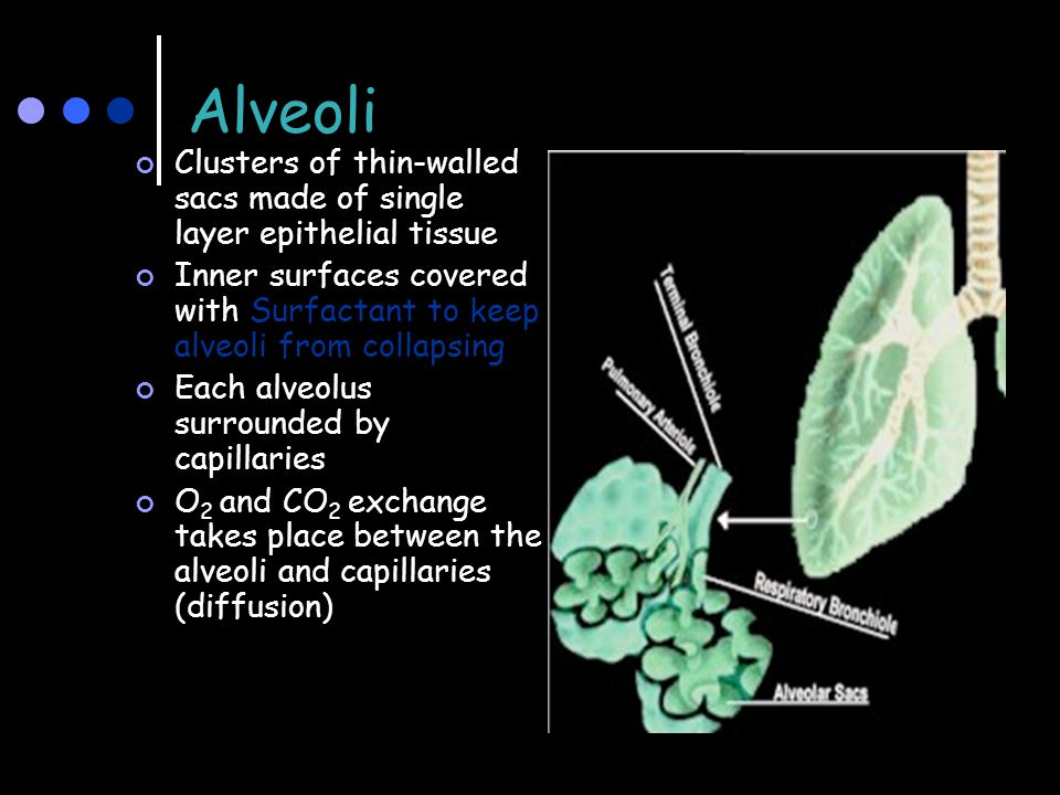 Alveoli Clusters of thin-walled sacs made of single layer epithelial tissue. Inner surfaces covered with Surfactant to keep alveoli from collapsing.