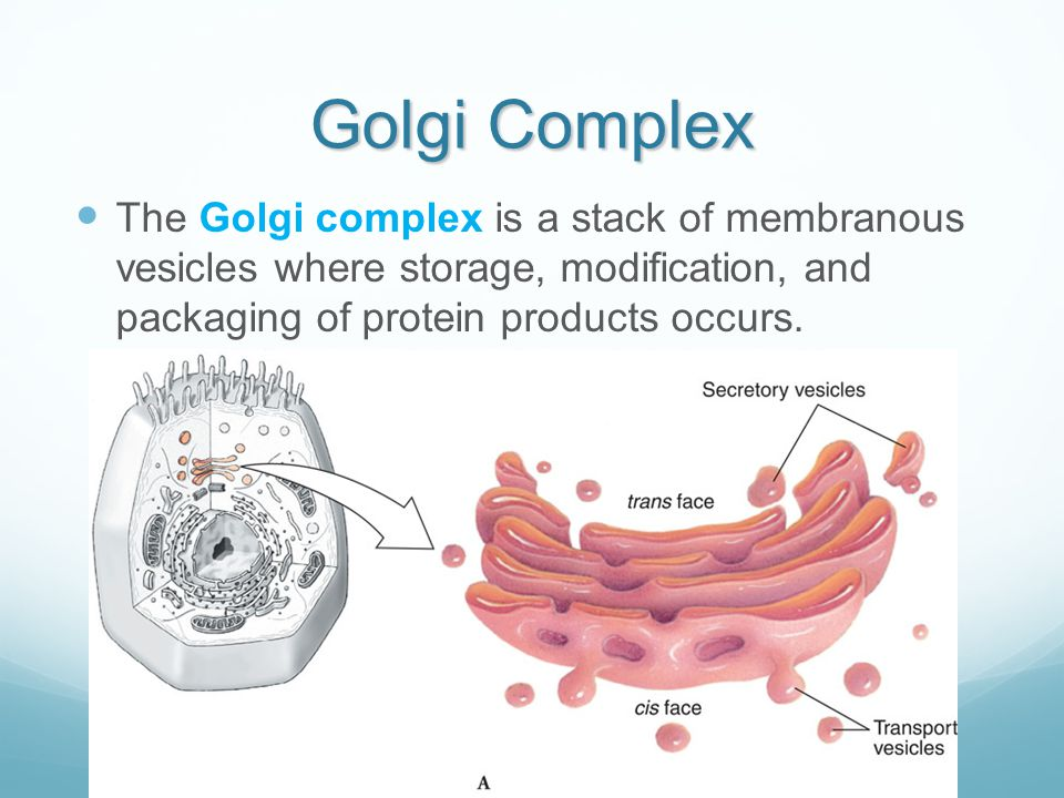 Golgi Complex The Golgi complex is a stack of membranous vesicles where storage, modification, and packaging of protein products occurs.