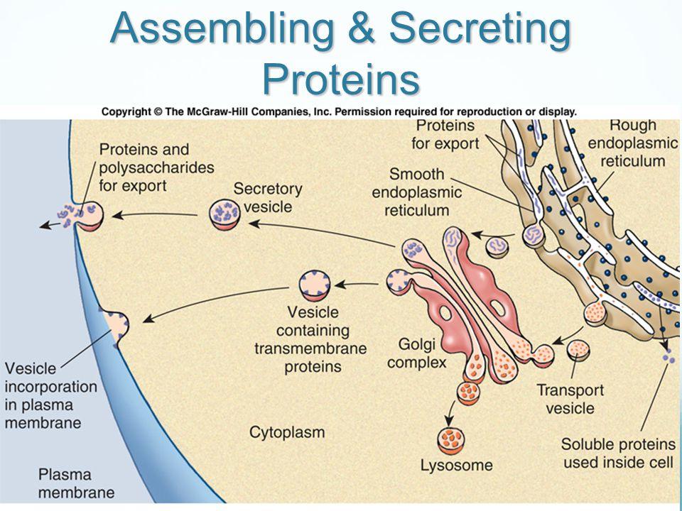 Assembling & Secreting Proteins