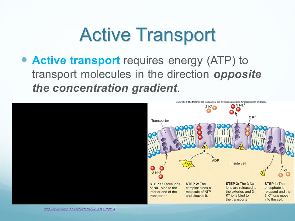 Active Transport Active transport requires energy (ATP) to transport molecules in the direction opposite the concentration gradient.