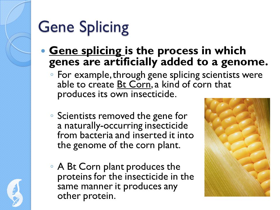 Gene Splicing Gene splicing is the process in which genes are artificially added to a genome.